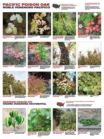 California poison oak poster english spanish