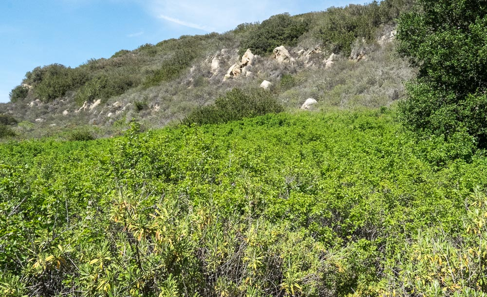 Pacific poison oak