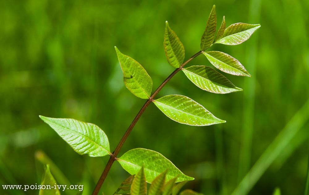 poison sumac growing tip