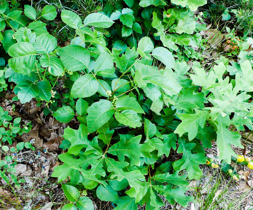 Atlantic poison oak