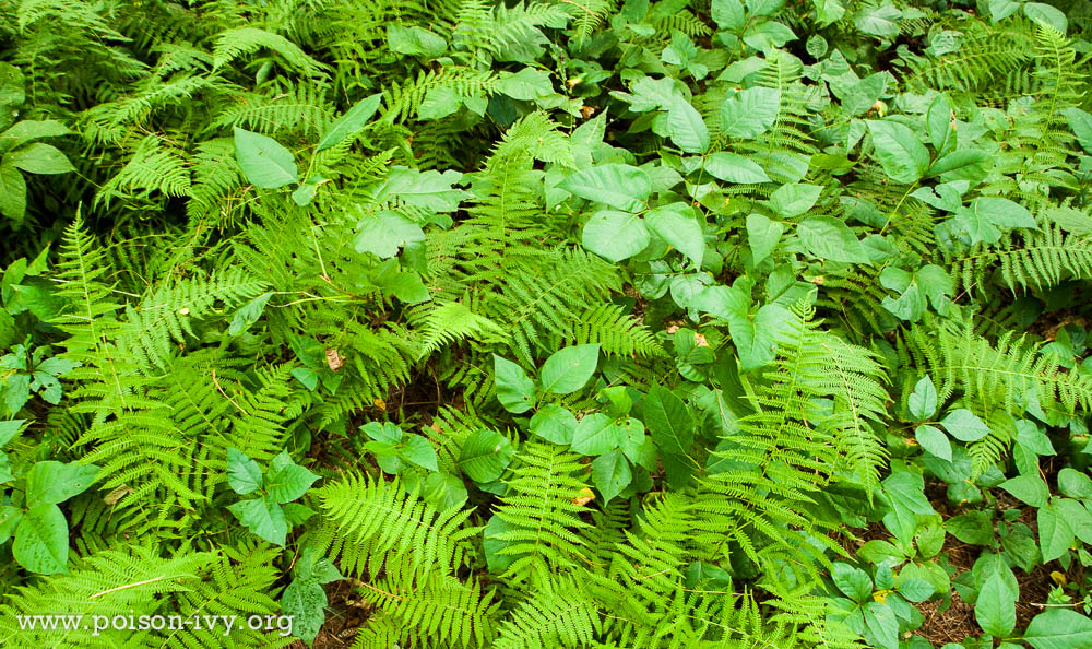 poison ivy with ferns