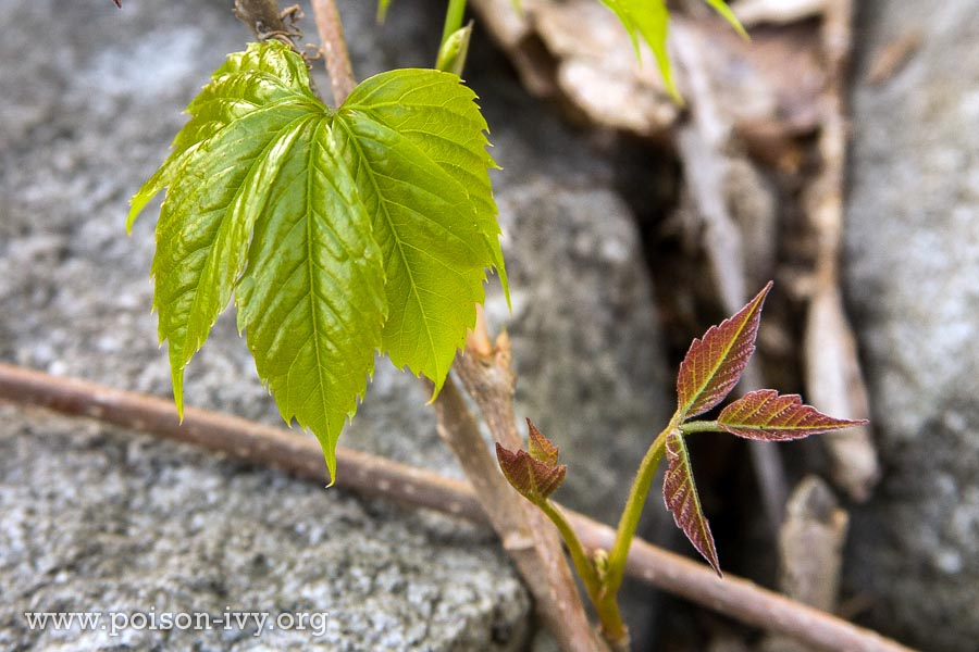 poison ivy versus virginia creeper