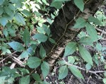 3 - leaved Virginia Creeper