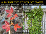 two poison ivy plants