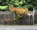 fall poison ivy on fence