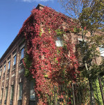 Virginia Creeper in fall