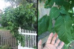 poison ivy fence monster