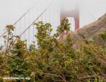 golden gate poison oak