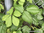 Virginia Creeper and poison ivy together