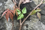 Virginia Creeper versus poison ivy