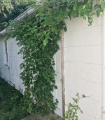 poison ivy attacking door