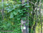 poison ivy on utility pole