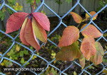 Virginia Creeper vs Poison Ivy