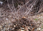 winter poison ivy shrub