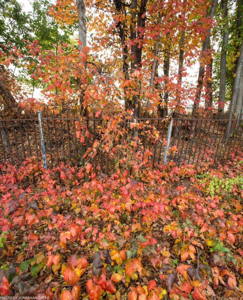 poison ivy in fall