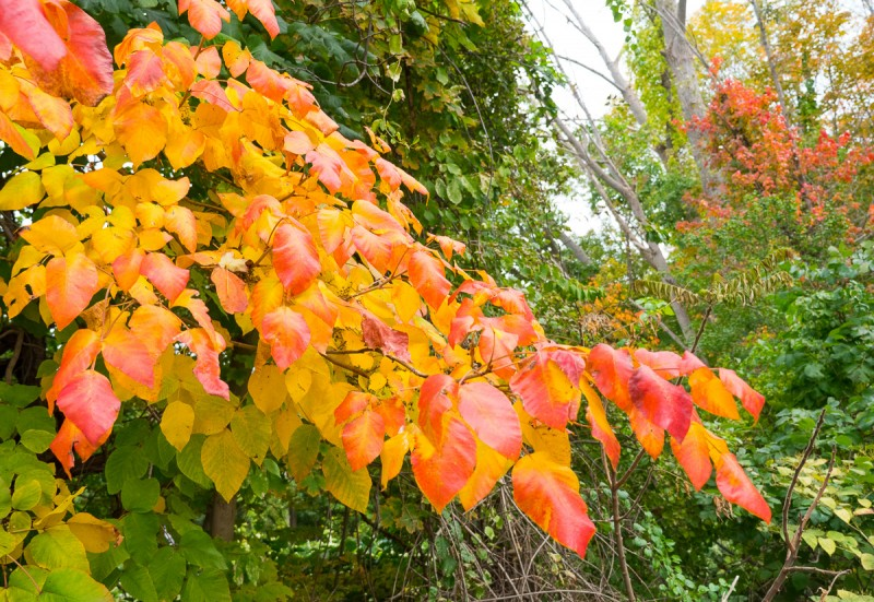 Colorful fall poison ivy