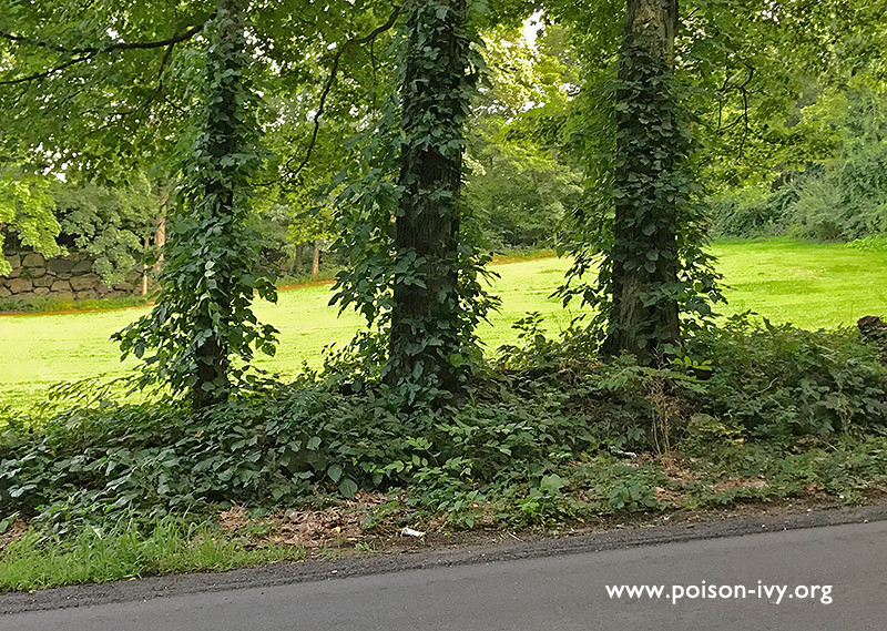 Three Poison Ivy Covered Trees