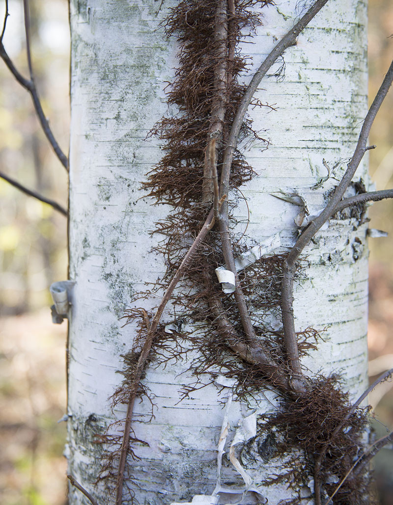 white birch with poison ivy vine
