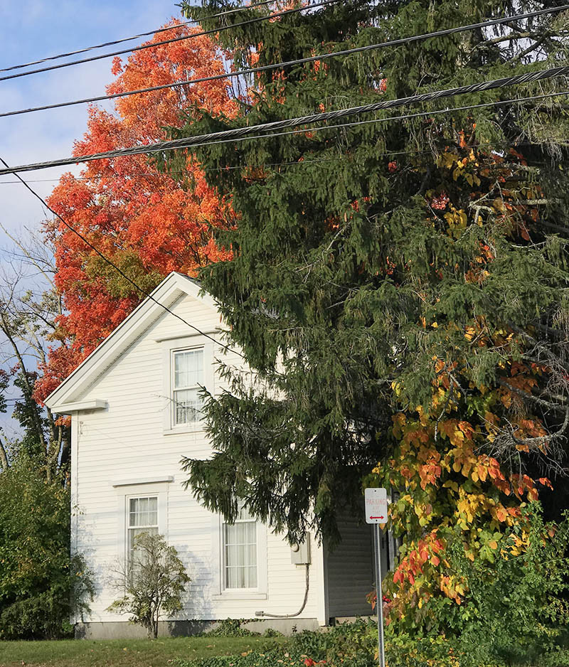 maple tree and poison ivy color