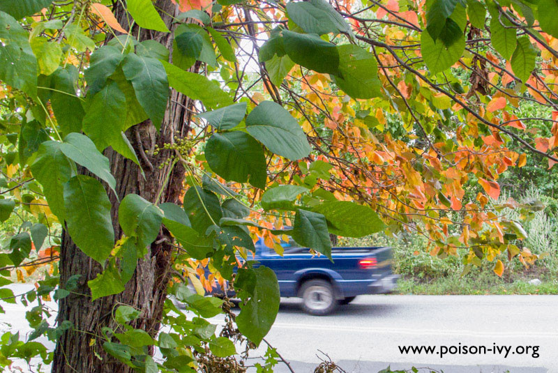 Fall Poison Ivy with Truck