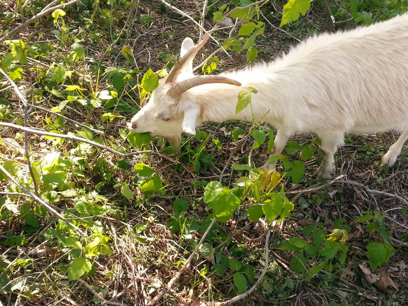 goat eating poison ivy