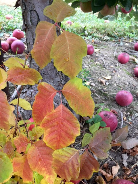 Orchard poison ivy