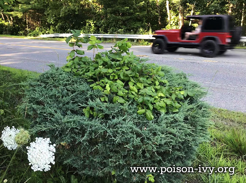 poison ivy erupts from a shrub