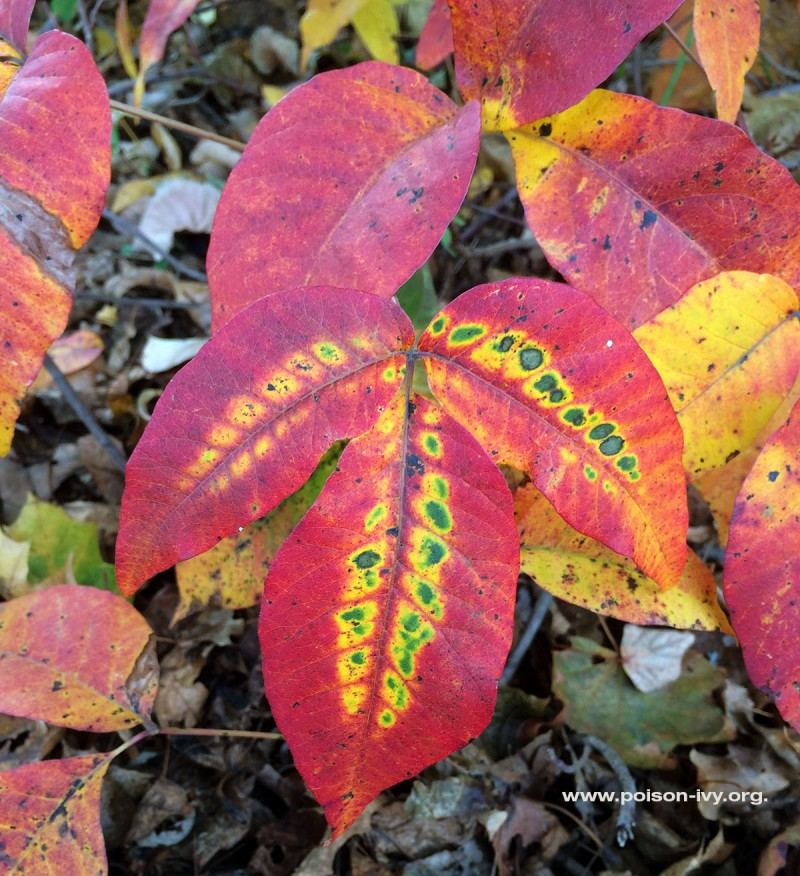 poison ivy leaf in the fall