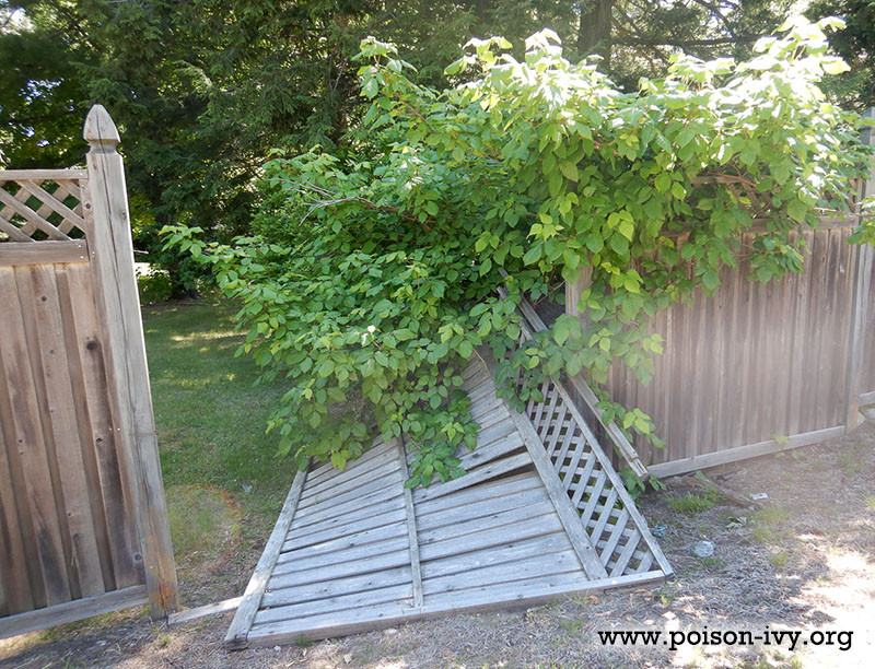 Poison Ivy Fence Disaster