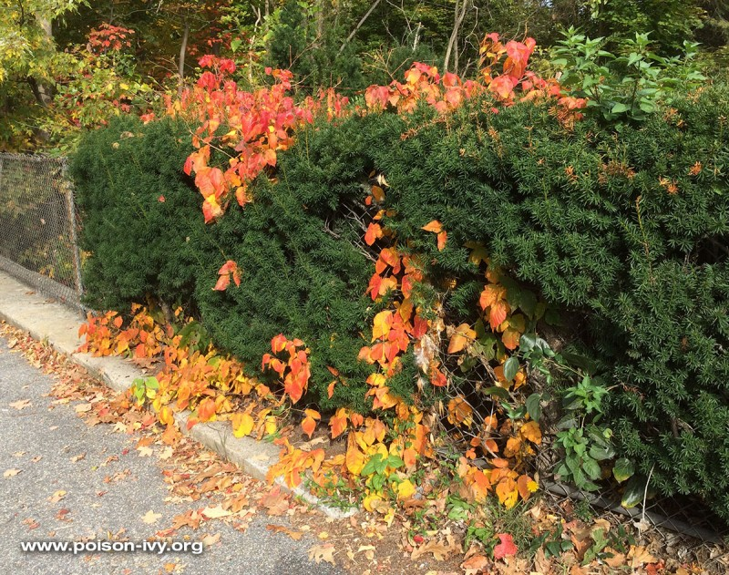 poison ivy in a hedge in the fall