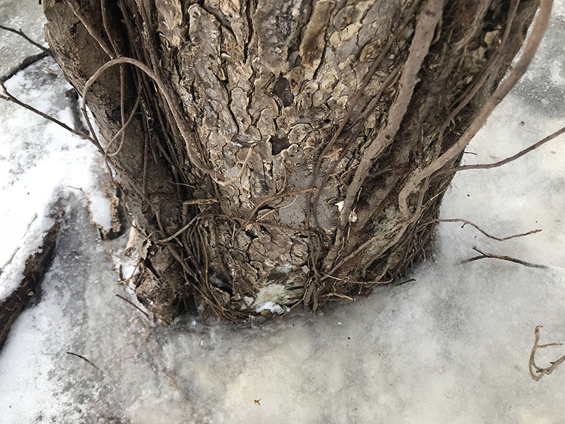 poison ivy in ice