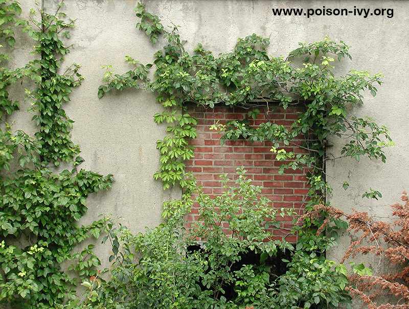 poison ivy wall