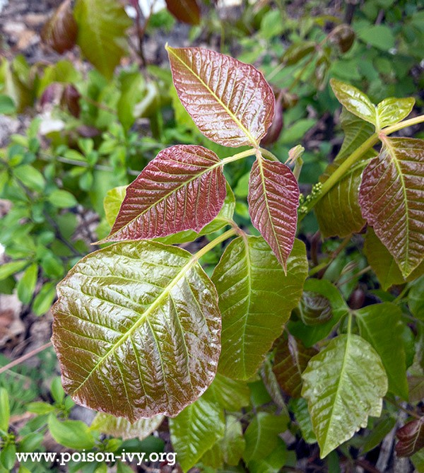spring differences in poison ivy leaves